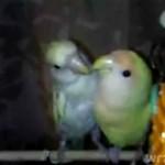 Pocałunki papużek - słodkie!