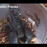 Kawał ze skorpionem - urocza parka!