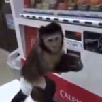 Małpa kupuje napój z automatu