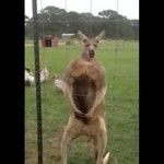 Kangur strzela popisówkę