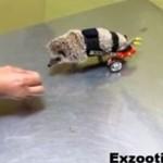 Niepełnosprawny jeż - dostał protezę!