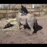 Rodeo na... nosorożcu!?