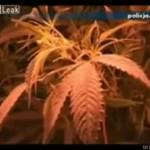 Plantacja marihuany w Polsce!