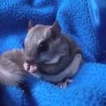 KOLEKCJONER SŁODKOŚCI - latająca wiewiórka