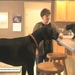 Najwyższy pies świata - REKORD!