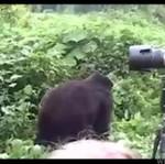 Niebezpieczna praca z gorylami
