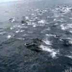 Delfiny ścigają się ze statkiem - PIĘKNE!