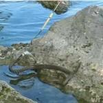 Wąż na rybobraniu