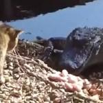 Kot ZACZEPIA krokodyla