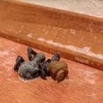 Pasożyt wypełza z martwego pająka - OHYDA!