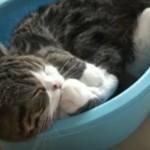 Maru - najsławniejszy kot internetu