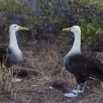 Rytuał zaręczynowy albatrosów z Galapagos