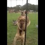 Przypakowany kangur pręży się przed kamerką