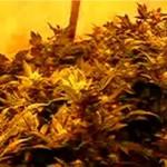 Uprawa marihuany w domu?