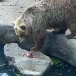 Niedźwiedź uratował tonącego kruka