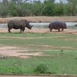 Nosorożec vs hipopotam