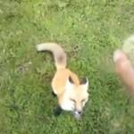 Wytresował lisa