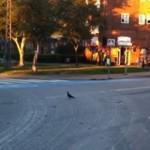Tańczący na skrzyżowaniu gołąb ZABITY przez policję!