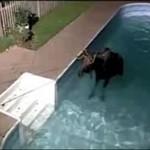 Łoś przyszedł wykąpać się w basenie