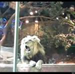 Lew zaatakował tresera!