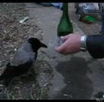 W Rosji piją NAWET PTAKI!