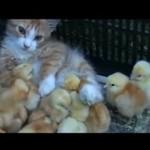 Kocia mama przygarnęła kurczaczki