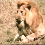 Lew zagryza lwiątko!