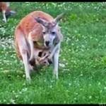 Kangur - MAMINSYNEK!