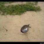 Turbo - żółw!