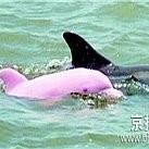 Różowe delfiny - WOW!