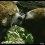 Cudowne całuśne pandy!