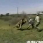 Chcieli zastrzelić lwa