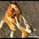 Kangury się tłuką! Zwierzęce MMA!