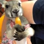 Najsłodszy kangurek świata