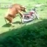 Byk ZAKOCHAŁ SIĘ w motorze!