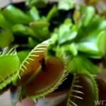 Drapieżna roślina zjada muchę!