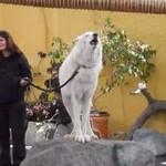 Tak wyje wilk arktyczny