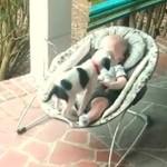 Słodki pitbull bawi się z dzieckiem