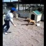 Wieśniak drażni pitbulla