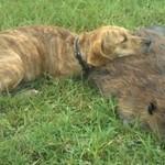 Pies opłakuje śmierć bobra - SMUTNE