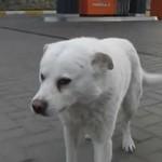 Bezdomny pies z Rosji