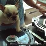Ten francuski buldog jest lepszym DJ'em niż większość osób!