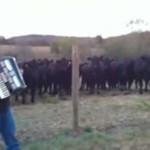 Krowy też mają swojego idola!
