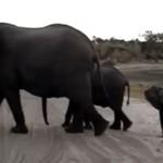 Mały słoń wystraszył się podczas kichania
