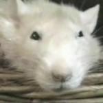 Mrugający szczur