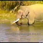 Słoń, który... ŁOWI RYBY!