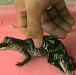 Syjamskie tajskie krokodylki