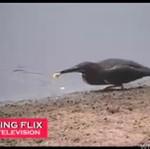 Łowi ryby jak ludzie... NIESAMOWITE!