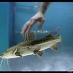 Ryba, która lubi... GŁASKANIE!