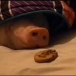Jak obudzić świnię?